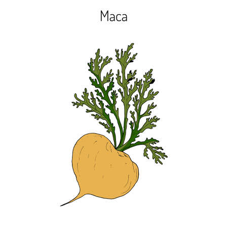 Maca (Lepidium meyenii) peruvian superfood. Hand drawn botanical vector illustration