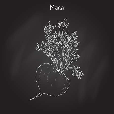 Maca (Lepidium meyenii) peruvian superfood. Hand drawn botanical vector illustration