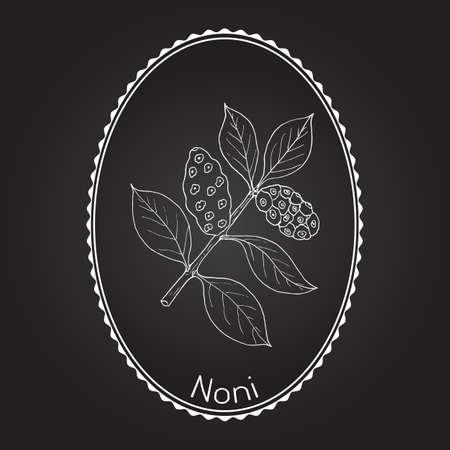 Noni (Morinda citrifolia), o grande morinda, gelso indiano, gelso di spiaggia, frutta di formaggio, pianta medicinale. Illustrazione vettoriale botanica disegnata a mano. Archivio Fotografico - 73218096