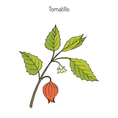 Tomatillo (Physalis philadelphica), or husk tomato, Mexican groundcherry, large-flowered tomatillo. Hand drawn botanical vector illustration