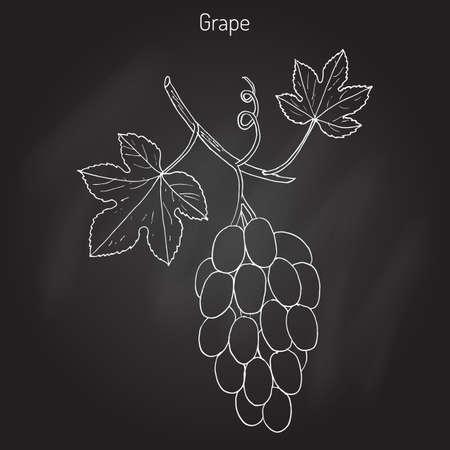 vitis: Vitis vinifera, common grape vine. Hand drawn botanical vector illustration Illustration