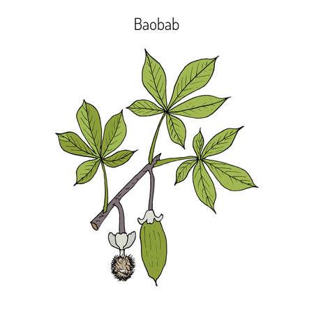 Baobab (Adansonia digitata), o árbol de rata muerta, árbol de pan de mono, al revés, crema de tártaro. Ilustración botánica dibujada mano del vector. Foto de archivo - 73218254