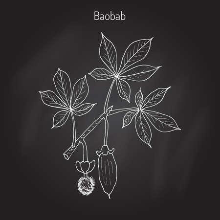digitata: Baobab (Adansonia digitata), or dead-rat tree, monkey-bread tree, upside-down, cream of tartar tree. Hand drawn botanical vector illustration.