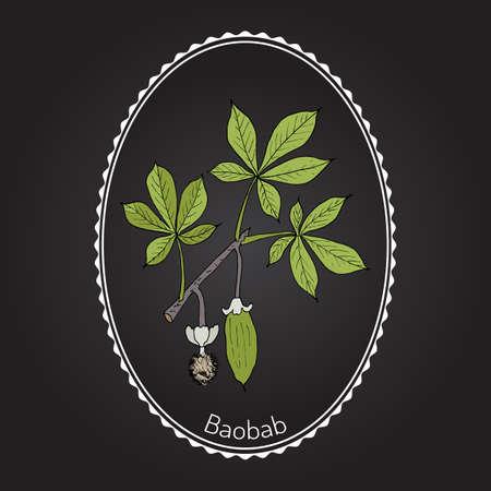 Baobab (Adansonia digitata), or dead-rat tree, monkey-bread tree, upside-down, cream of tartar tree. Hand drawn botanical vector illustration.