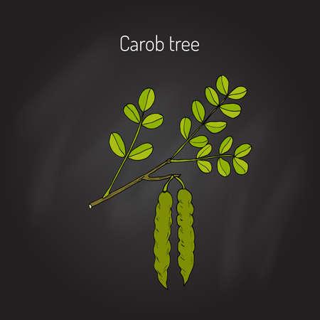 Carob (?eratonia siliqua), or carob tree, St John's-bread, locust bean. Hand drawn botanical vector illustration 向量圖像