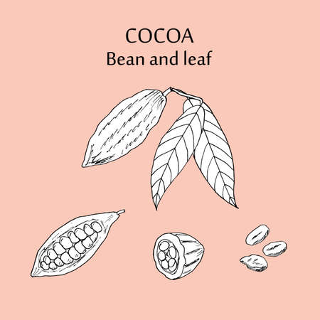 Kakaobohne und Blatt. Hand gezeichnet Vektor-Illustration. Standard-Bild - 73218354