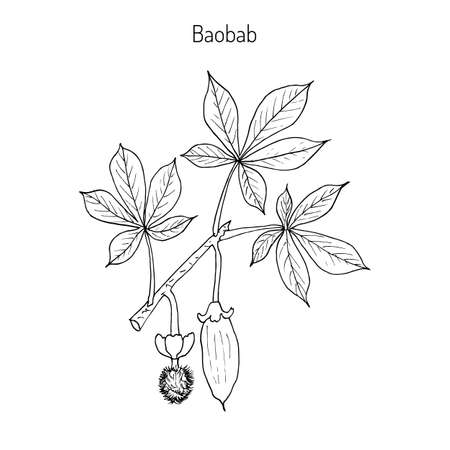 Baobab (Adansonia digitata), or dead-rat tree, monkey-bread tree, upside-down, cream of tartar tree. Hand drawn botanical vector illustration.