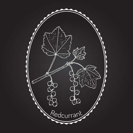red currant: Red currant  (Ribes rubrum). Hand drawn botanical vector illustration