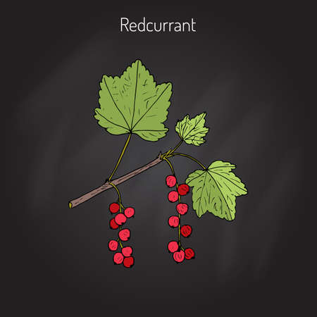 Red currant  (Ribes rubrum) in black background.