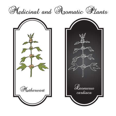herbaceous: Motherwort (Leonurus cardiaca), or  throw-wort, lions ear, lions tail - medicinal plant.