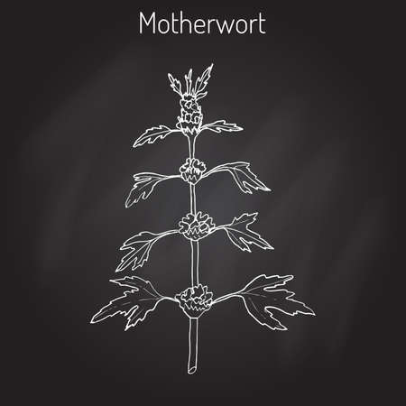 Motherwort (Leonurus cardiaca), or  throw-wort, lions ear, lions tail - medicinal plant.