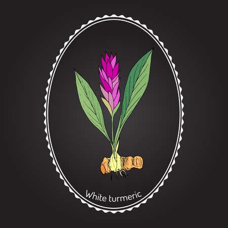 Curcuma zedoaria, zedoary, white turmeric or kentjur. Hand drawn vector illustration