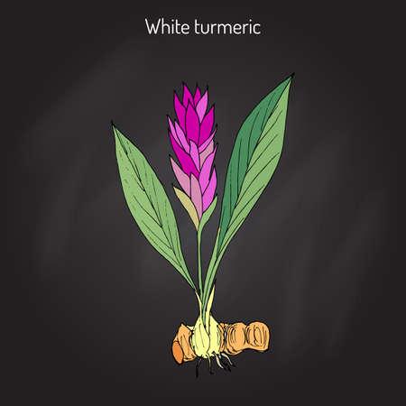 Curcuma zedoaria, zedoary, white turmeric or kentjur in black background.
