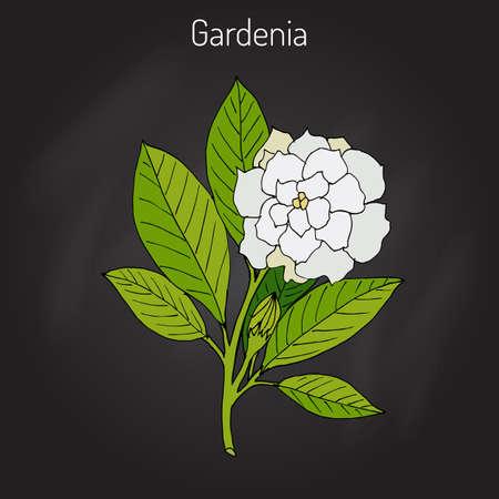 Gardenia jasminoides, gardenia, cape jasmine, cape jessamine, danh-danh, or jasmin in black background. Illustration