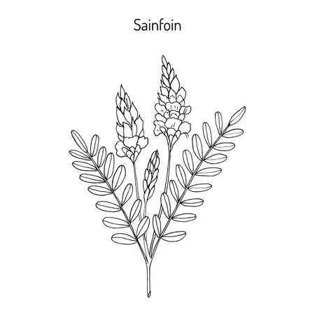 Gemeenschappelijke sainfoin (Onobrychis viciifolia of Onobrychis sativa). Hand die op witte duidelijke achtergrond trekt.