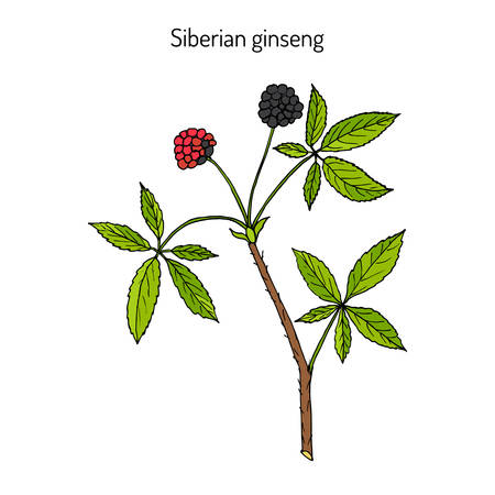 Eleutherococcus senticosus - Siberian Eleutherococcus. Handdrawn botanical vector illustration