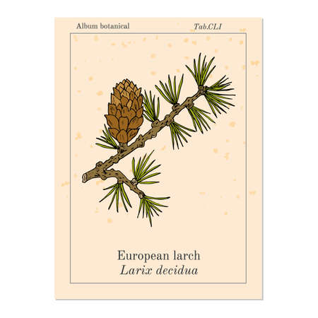 Larch (Larix decidua) branch with cone in pink background. Ilustração