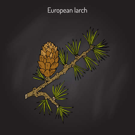 Larch (Larix decidua) branch with cone. Hand drawn botanical vector illustration Illustration
