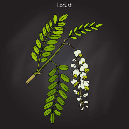 Robinia pseudoacacia, or black locust, false acacia. Hand drawn botanical vector illustration Illustration