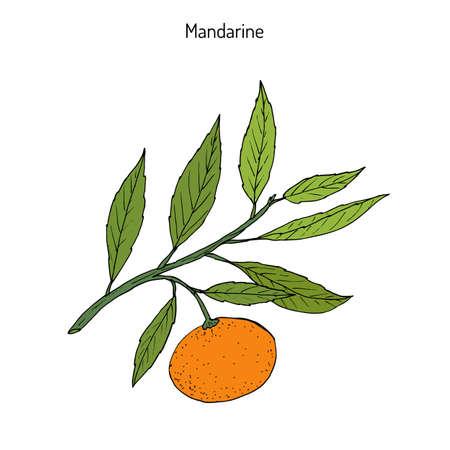 Mandarin orange (Citrus reticulata) branch with leaves on white background.