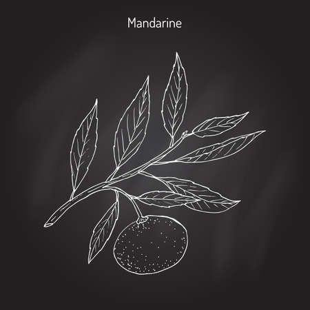 reticulata: Mandarin orange (Citrus reticulata) branch with leaves in black background. Illustration