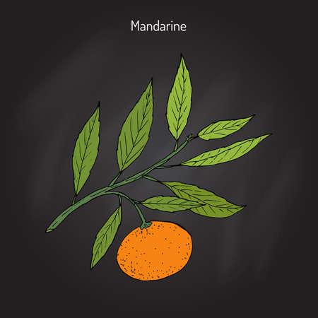 Mandarin orange (Citrus reticulata) branch with leaves in black background. Illustration
