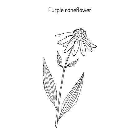 on white: Purple coneflower (echinacea purpurea), medicinal plant drawing in white background. Illustration