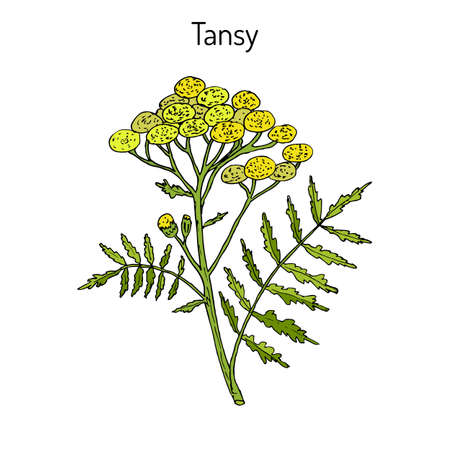 Hand drawn Tansy (Tanacetum vulgare), or common tansy, bitter buttons, cow bitter, or golden buttons.