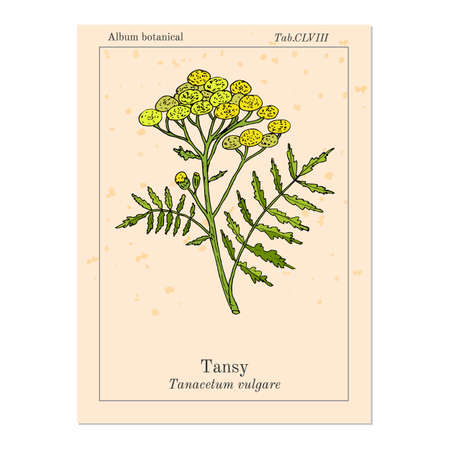 Tansy (Tanacetum vulgare), or common tansy, bitter buttons, cow bitter, or golden buttons in pink background. Illustration