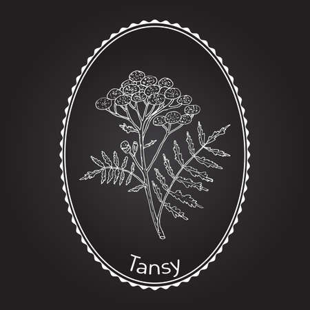 Tansy (Tanacetum vulgare), or common tansy, bitter buttons, cow bitter, or golden buttons with white frame.