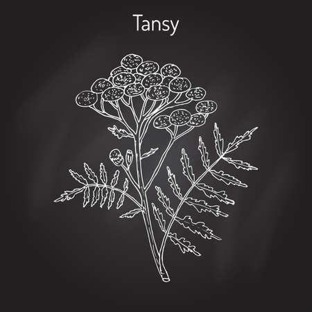 Tansy (Tanacetum vulgare), or common tansy, bitter buttons, cow bitter, or golden buttons. Hand drawn botanical vector illustration Illustration