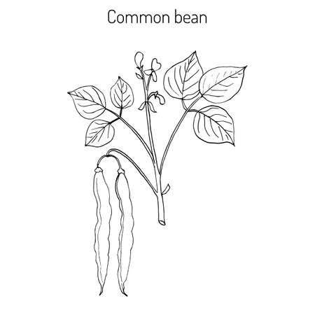 Common bean (Phaseolus vulgaris), or  string bean, field bean, flageolet bean, French bean, garden bean, green bean, haricot bean, pop bean, snap bean hand drawing. Zdjęcie Seryjne - 73690799