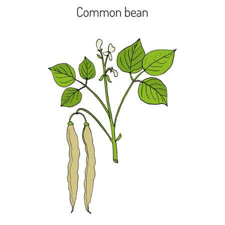 Common bean (Phaseolus vulgaris), or  string bean, field bean, flageolet bean, French bean, garden bean, green bean, haricot bean, pop bean, snap bean colored hand drawing.