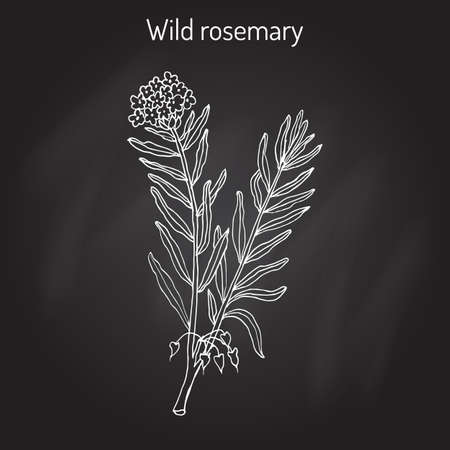palustre: Wild Rosemary (Rhododendron tomentosum), or Marsh Labrador tea, northern Labrador tea. Hand drawn on black background.
