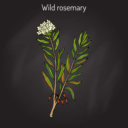 Wild Rosemary (Rhododendron tomentosum), or Marsh Labrador tea, northern Labrador tea. Colored hand drawn on black background. Illustration