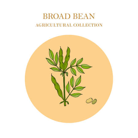 Broad beans or fava beans hand drawn.