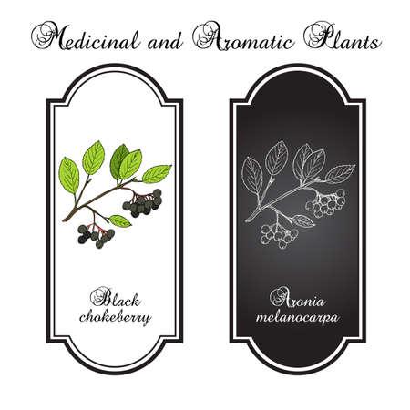 aronia: Black chokeberry (Aronia melanocarpa), medicinal plant. Hand drawn in black and white background.