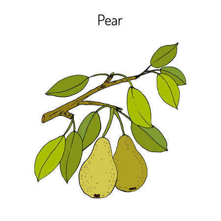 Pear branch with fruit (pyrus communis), or european pear. Colored hand drawn on white background.