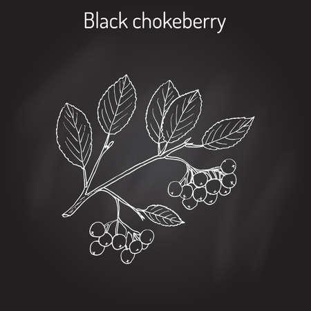 aronia: Black chokeberry (Aronia melanocarpa), medicinal plant. Hand drawn on black background. Illustration