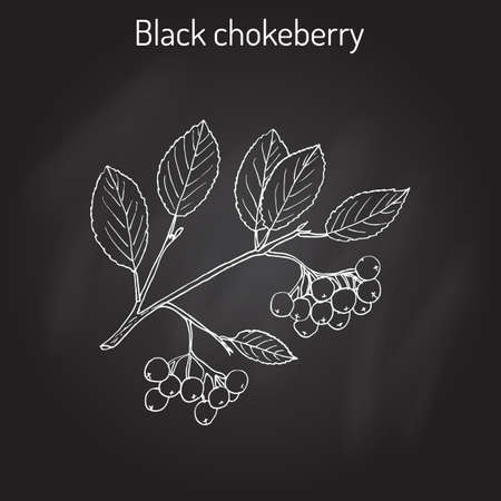 Black chokeberry (Aronia melanocarpa), medicinal plant. Hand drawn on black background.