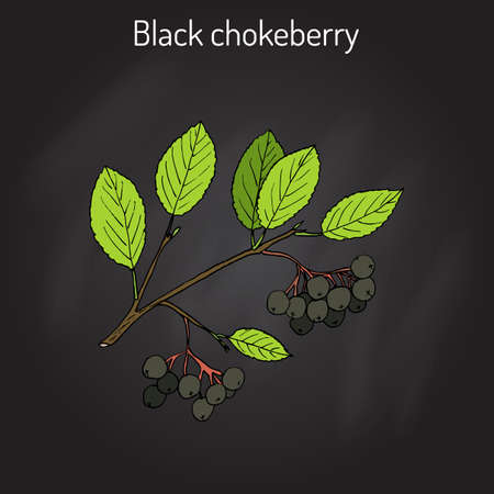 chokeberry: Black chokeberry (Aronia melanocarpa), medicinal plant. Hand drawn botanical vector illustration