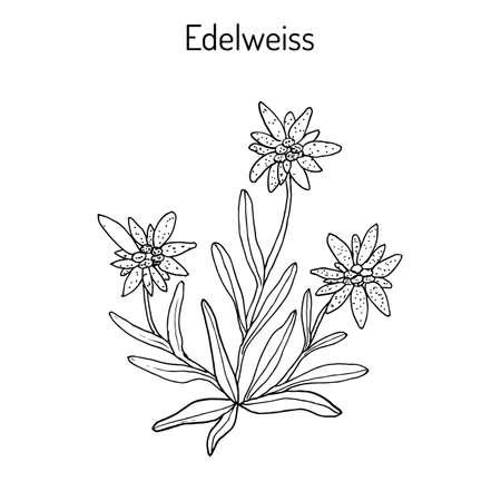 エーデルワイス (leontopodium alpinum) の花。手が白い背景の上に描画されます。  イラスト・ベクター素材