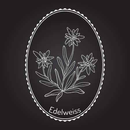 Edelweiss (Leontopodium alpinum) Blume. Hand gezeichnet botanische Vektor-Illustration Standard-Bild - 73638671