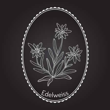 Edelweiss (leontopodium alpinum) flower. Hand drawn botanical vector illustration