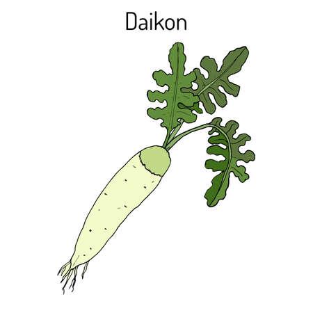 dikon: Daicon (Raphanus sativus), or white radish,  winter radish, oriental radish. Hand drawn botanical vector illustration Vectores