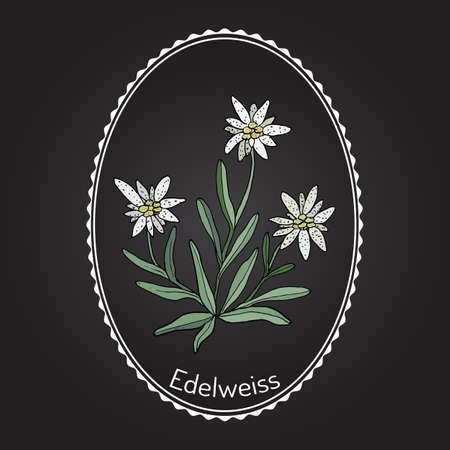 Edelweiss (leontopodium alpinum) flower. Hand drawn with white frame. Illustration