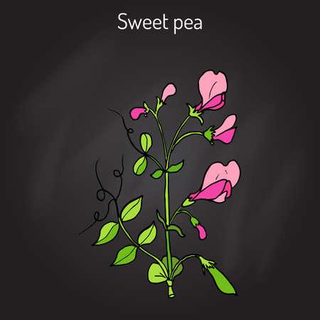 Sweet pea (Lathyrus odoratus).Colored hand drawing on black background.