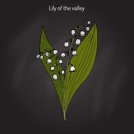 Lily of the valley (Convallaria majalis). Hand drawn botanical vector illustration