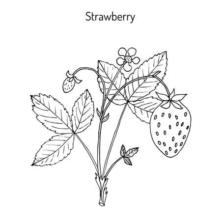 Garden strawberry (Fragaria ananassa) plant. Hand drawn botanical vector illustration