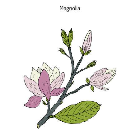 Blossom brunch of Magnolia (Magnolia soulangeana), or saucer magnolia. Hand drawn botanical vector illustration